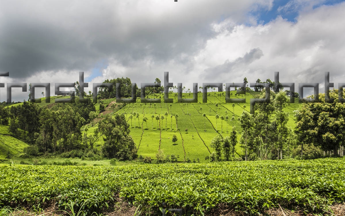 Kenya Tea Plantations